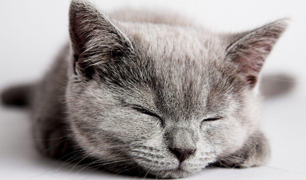 Chat gris qui dort